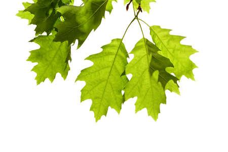 白で隔離枝に春のカシの葉