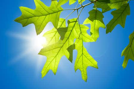 青い空を背景に分離された枝に春のカシの葉