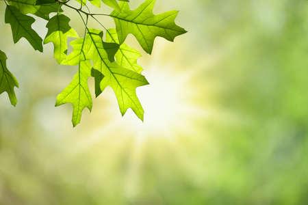 グリーン フォレスト キャノピーに対して分離された枝に春のカシの葉 写真素材