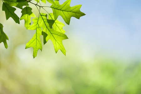 春のカシの葉緑の林冠に対して隔離されるブランチ 写真素材