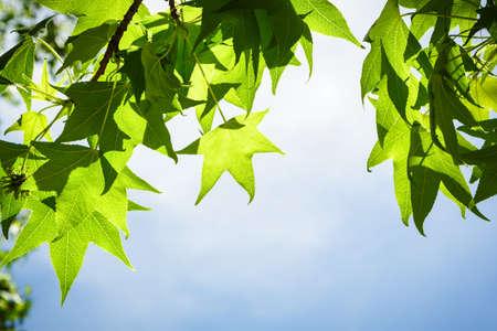 青い空を背景に分離された支部春楓葉
