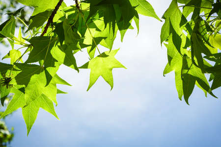 Spring Sweetgum Leaves on Branch Isolated against Blue Sky