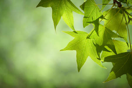 Spring Sweetgum Leaves on Branch Isolated Against Soft Green Canopy Stock Photo