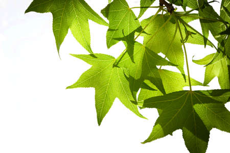 Spring Sweetgum Leaves on Branch Isolated on White