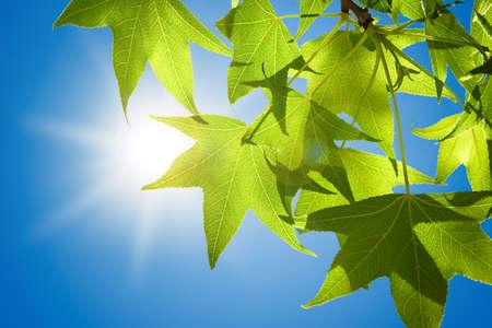 青い空を背景に分離された枝に春楓葉 写真素材