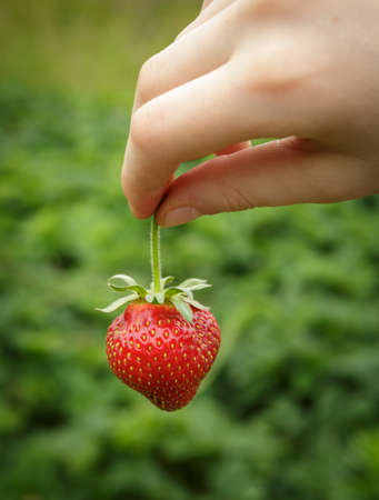 Wild Natural Red Strawberries, Strawberry in Childs Hand Fingers Selective Focus Stock Photo