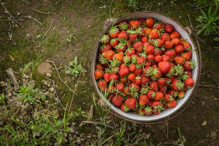 自然赤い野イチゴ、コケに覆われた土の道に素朴な鉄鍋にイチゴ 写真素材