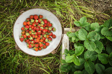Wild Natural Red Strawberries, Strawberry in Rustic Iron Enamel Pot in Green Garden Stock Photo