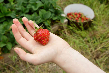 Wild Natural Red Strawberries, Strawberry in Childs Hand with Garden Background