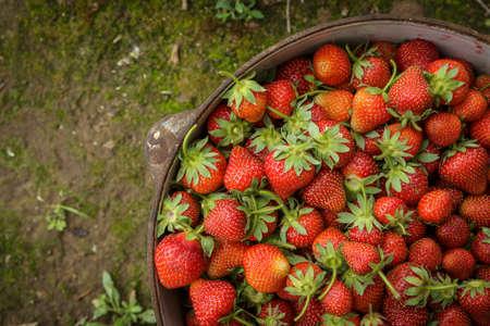 Fresh Organic Strawberries in Iron Pot on Moss Stock Photo