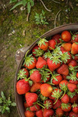 モスに鉄鍋に新鮮な有機栽培のイチゴ