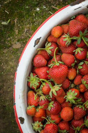 strawberry plant: Organic Natural Red Strawberries, Strawberry in Rusic Enamel Pan on Mossy Dirt Path