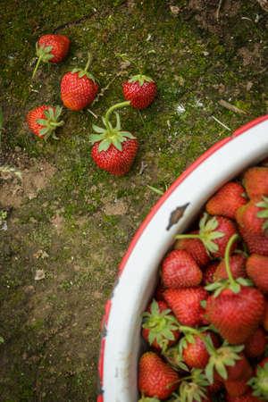有機栽培の自然な赤いイチゴ、コケに覆われた土の道の Rusic エナメル鍋にイチゴ