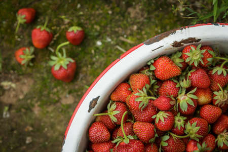 Organic Natural Red Strawberries, Strawberry in Rusic Enamel Pan on Mossy Dirt Path