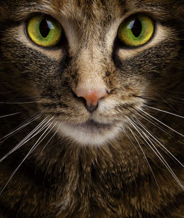 calico whiskers: Cat Staring Intensely into the Camera