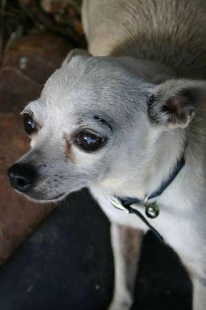 frightened dog: Asustado Chihuahua