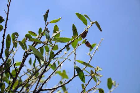 Holly tree 版權商用圖片