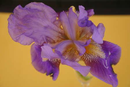 sprung: Iris