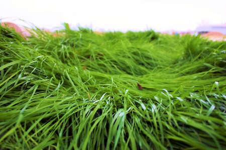 flattened: Flattened Grass Stock Photo