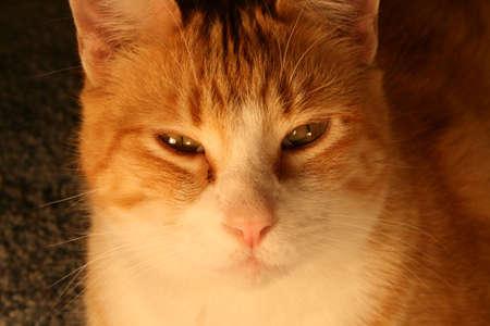 purring: Peaceful Cat Stock Photo