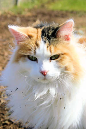 calico: Calico Long Haired Persian