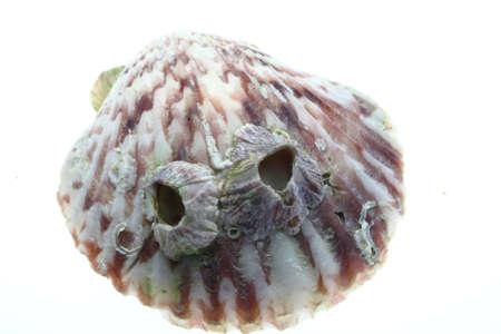 barnacles: LEPADI Shell
