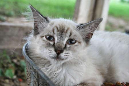 Lavender Siamese Cat Stock Photo - 5575116
