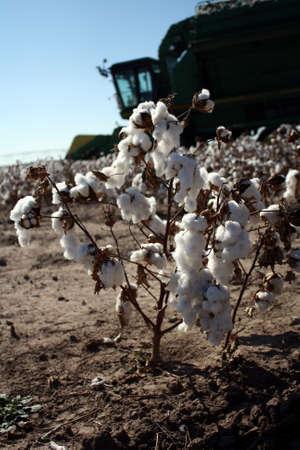 cotton crop: Farming Cotton