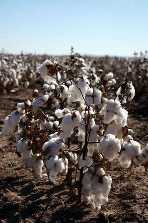 cotton crop: Cotton Plant