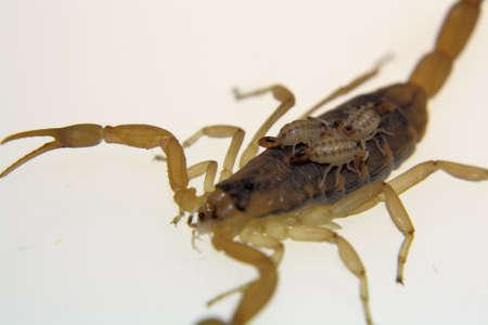 Scorpion Babies