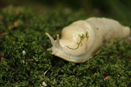 babosa: Pl�tano Slug