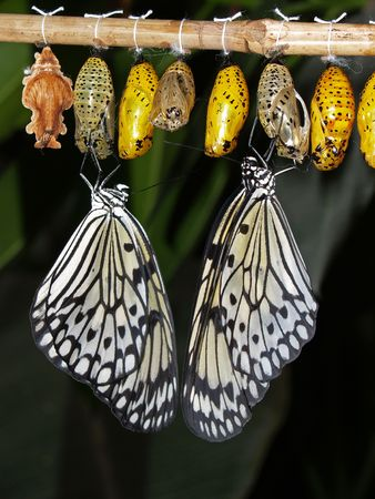 the birth of a butterfly from a cocoon