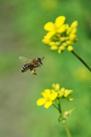 Bee in flight with the collected pollen Stock Photo - 5326334