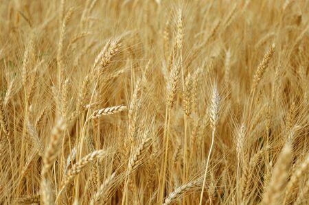 cropland: a field of ripe wheat