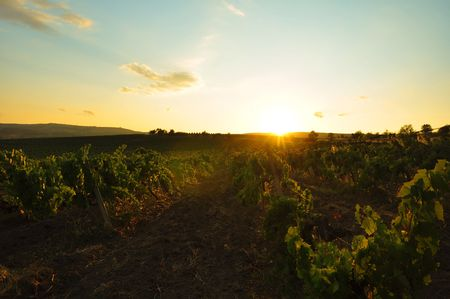 vineyard plain: grape field at sunset, vintage Stock Photo