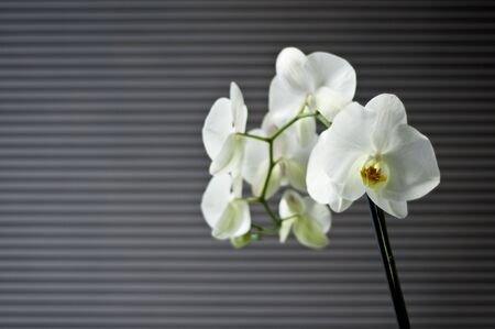blooming beautiful white orchid on a gray abstract background with large flowers on a branch photo