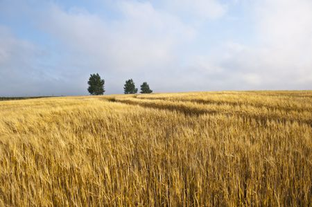 Rural landscape with tractor road in wheat field Stock Photo - 7660915