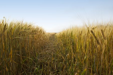 Rural landscape with tractor road in wheat field Stock Photo - 7660907