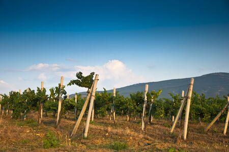 grape field in summer, vintage Stock Photo - 7744610