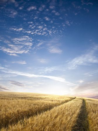 Rural landscape with tractor road in wheat field photo