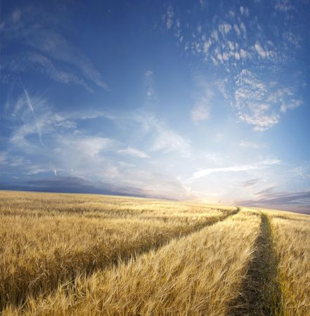 field sunset: Rural landscape with tractor road in wheat field Stock Photo