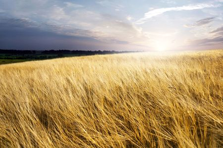 field of ripe wheat in the background of the rising sun Stock Photo - 7744666