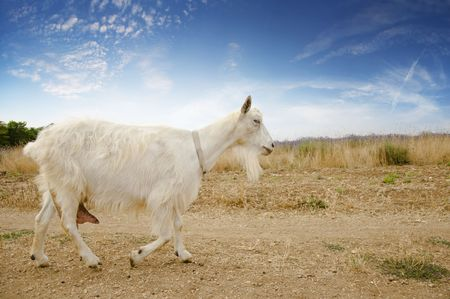 yeanling: adult white goat running on a dirt road along the field Stock Photo
