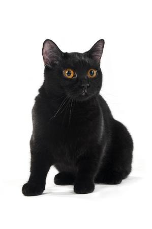 British black cat isolated on white background Stock Photo - 8723922