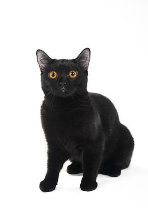 British black cat isolated on white background Stock Photo - 8723923