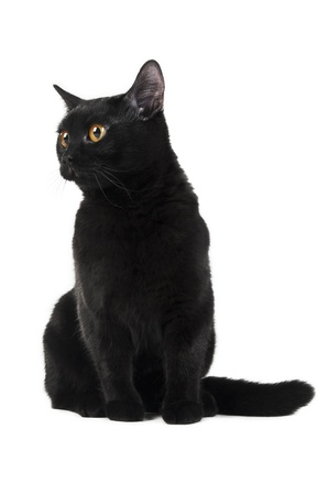 British black cat isolated on white background Stock Photo - 8723921