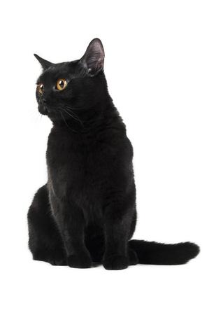 British black cat isolated on white background Stock Photo - 8723921