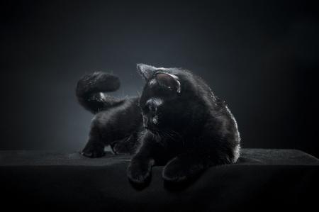 British black cat isolated on black background Stock Photo - 8723925