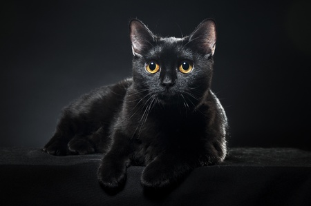 British black cat isolated on black background Stock Photo - 8723924