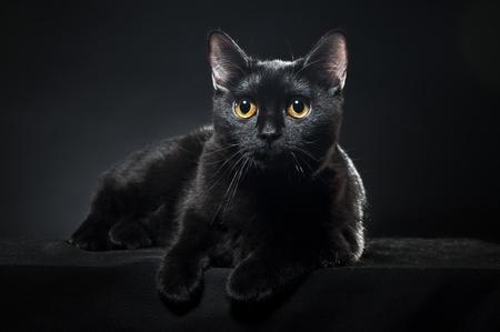 brit: British black cat isolated on black background Stock Photo